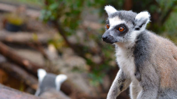 In with the lemurs 2015 - Lemur explores new home