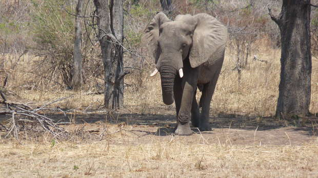An elephant at Marula