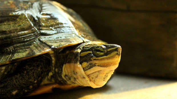 An Annam leaf turtle, with yellow and green striped face, basks in the light