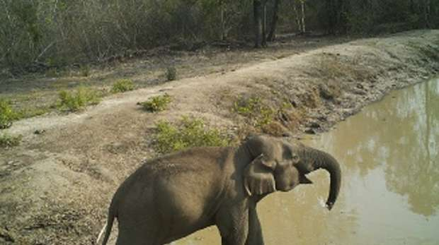 Asian elephant in Salakpra Wildlife Sanctuary