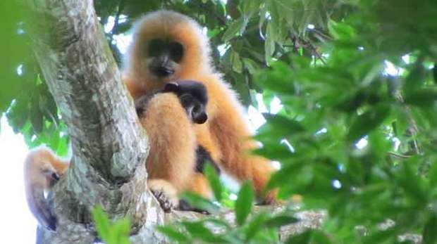 Hainan gibbon female with infant. (c) Jessica Bryant