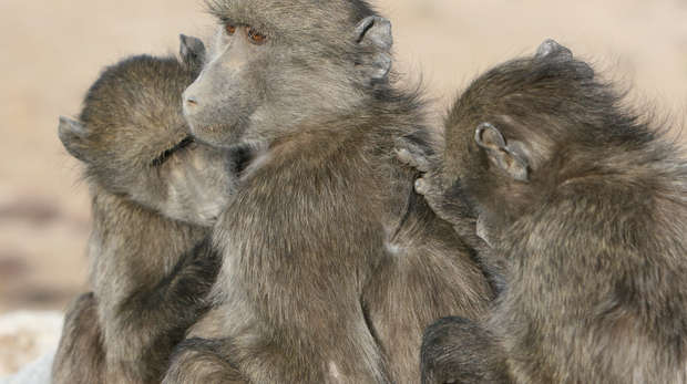 Chacma baboons grooming each other. Image by Alecia Carter.