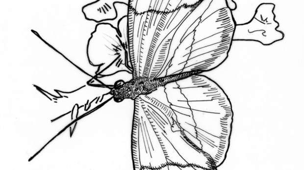 Postman Butterfly Drawing