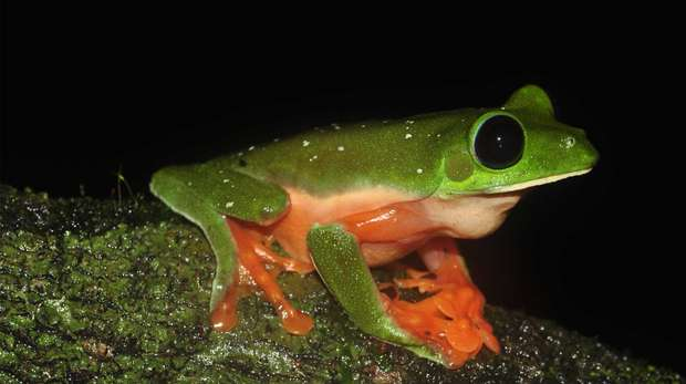 Morelet's tree frog by Rachael Antwis