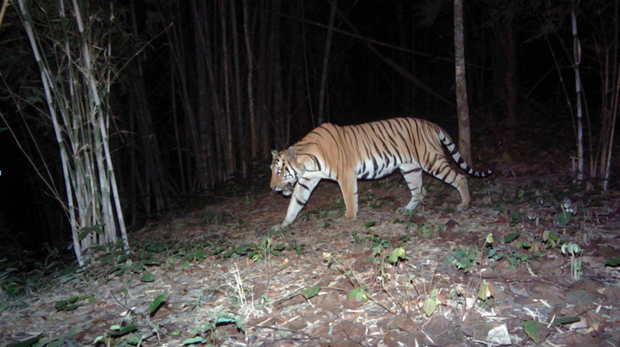 Tiger camera trap image, Thailand.
