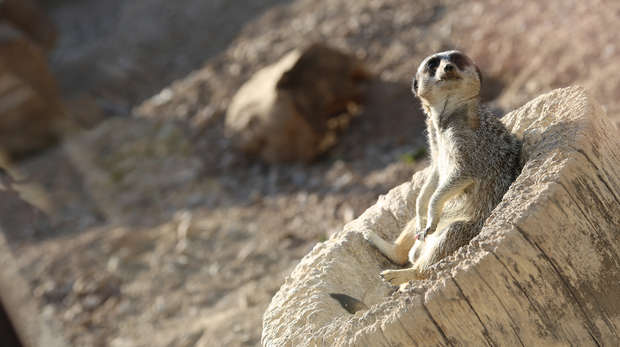 Sunset Safari - Meerkat sunbathing