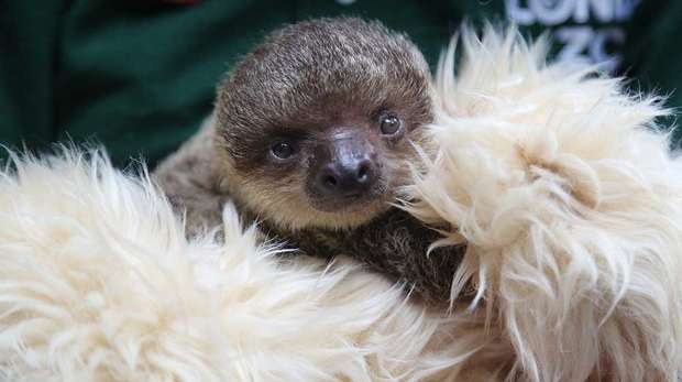 Edward the Baby Sloth