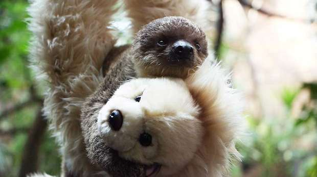 Edward the Baby Sloth with his teddy