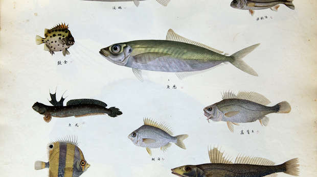A variety of fish drawn by Chinese artists 1820-1840