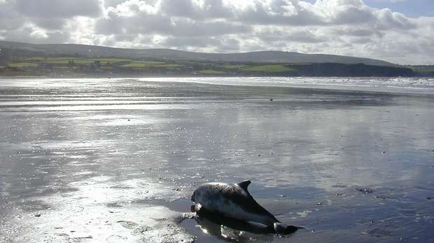 Porpoise on beach in Wales (c) Rod Penrose CSIP-MEM