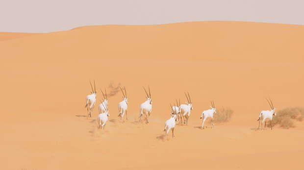 Wild oryx running in King Khalid Wildlife Research Centre, Saudi Arabia
