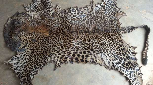 Poached leopard skin seized in Cameroon