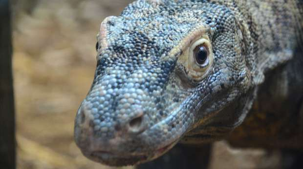 Ganas the Komodo Dragon