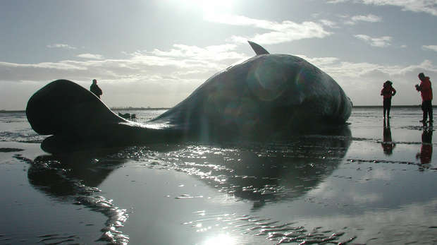 Sperm whale in the wash - CSIP
