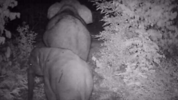 Camera trap elephants Thailand