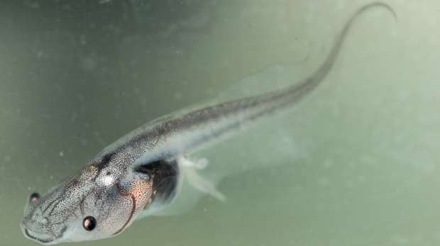 Clawed frog tadpole © Ben Tapley, ZSL