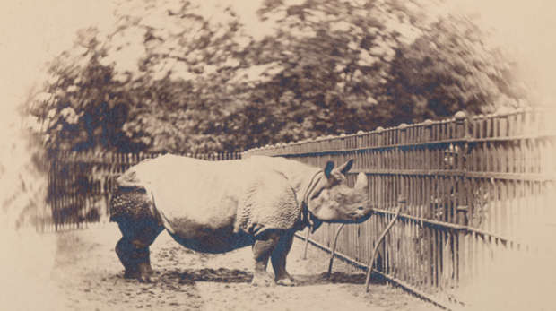 Black and white historic photograph of greater one horned rhinoceros
