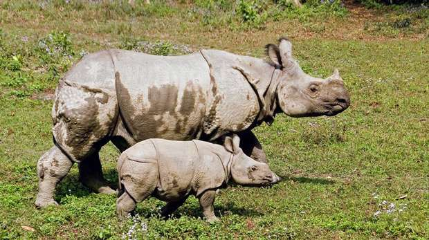 Greater one-horned rhinos, Chitwan National Park, Nepal. Image (c) ZSL/NTNC/DNPWC