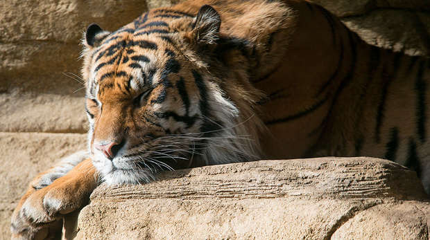 Jae Jae the tiger sleeping at ZSL London Zoo