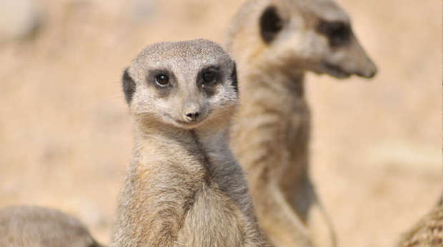 Pipsqueek the meerkat