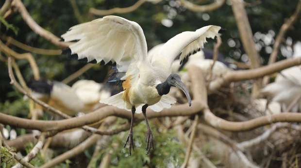Sacred ibis in the Snowdon Aviary at ZSL London Zoo