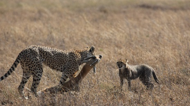 Cheetah catches a male Thomson's gazelle