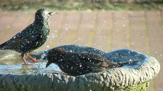 Starlings bathing (c) Josie Latus