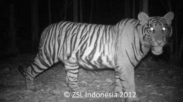 Tiger camera trapped in Indonesia