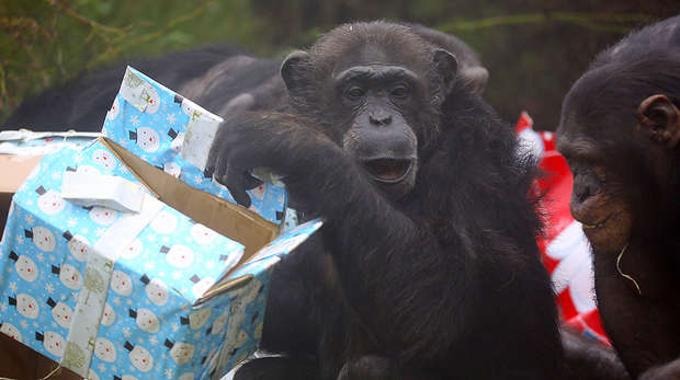 Chimps and presents