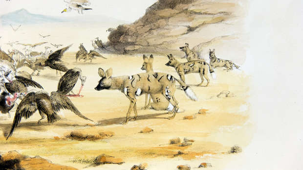 Detail of an illustration of a landscape with a pack of African hunting dogs watching vultures