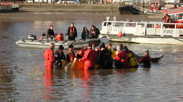 Thames whale being assessed in the water by ZSL and BDMLR