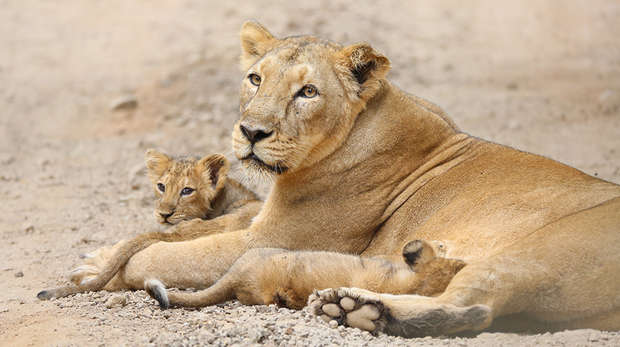 Asiatic lions in the Gir
