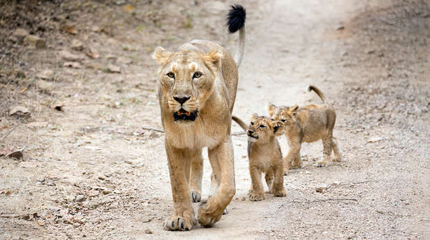 Asiatic lion and two cubs
