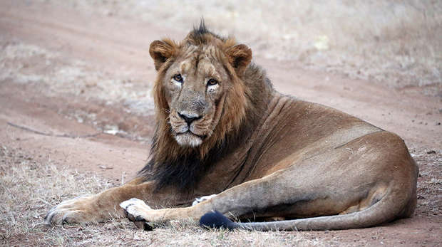 Asiatic male lion in the Gir Forest National Park
