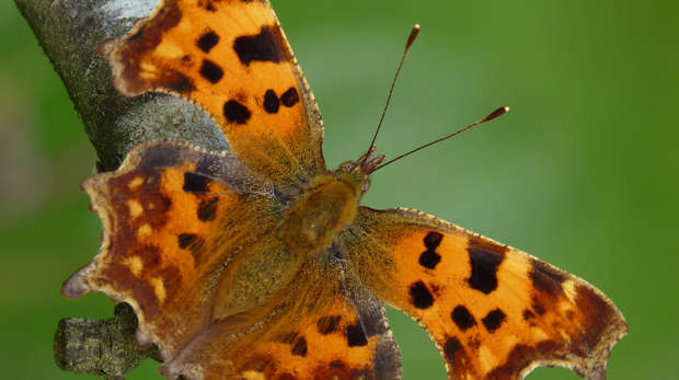 Comma: copyright Butterfly Conservation_Neil Hulme