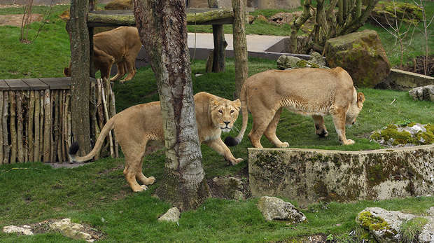 Meet our Asiatic lionesses
