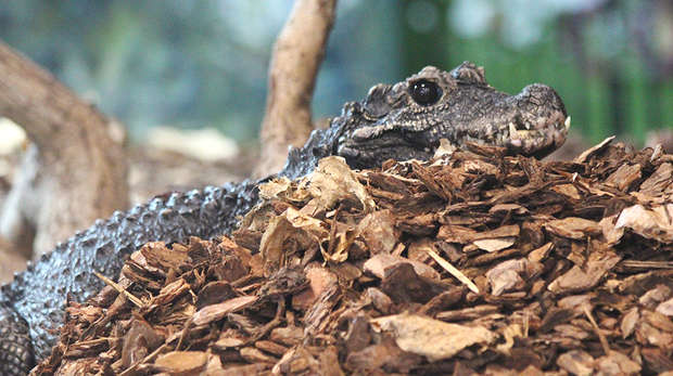 West African dwarf crocodile on nest