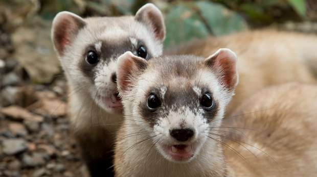 Black footed ferrets Mehgan Murphy, Smithsonian's National Zoo