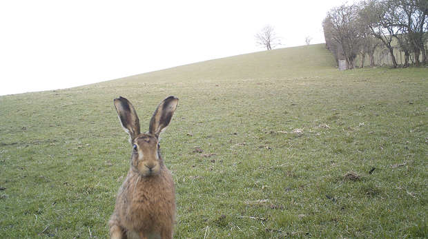 Camera trap image of a hare