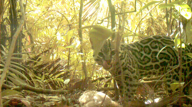 An ocelot with dinner, caught on camera trap in Panama