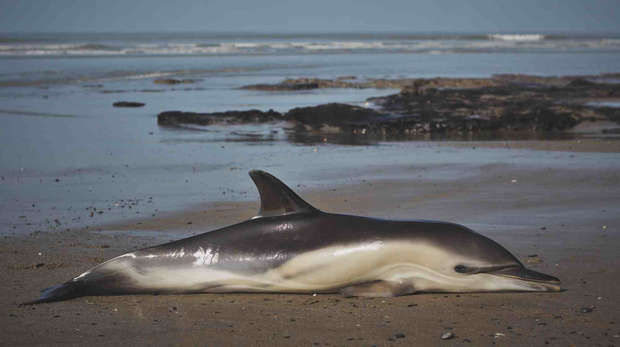 Common dolphin stranded in Cardigan Bay, Wales.
