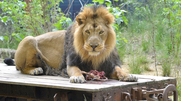 London Zoo Lodges at ZSL London Zoo - Bhanu, our male Asiatic lion