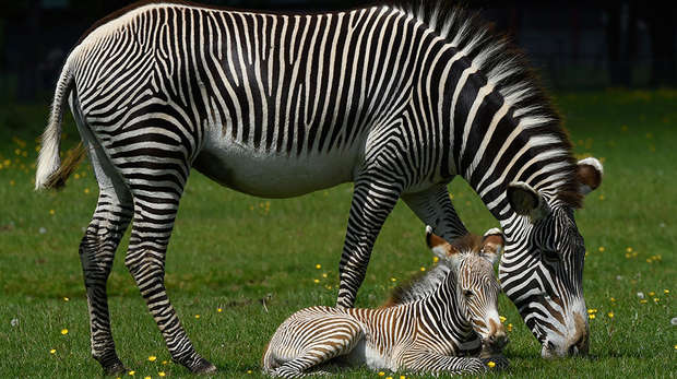 Grevy's zebra foal lying down next to mum Henna