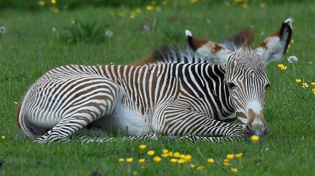 Grevy's zebra foal lying down