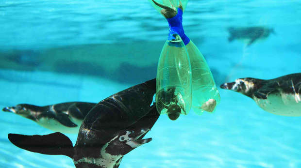 Humboldt penguins investigate recycled plastic bottles at ZSL London Zoo