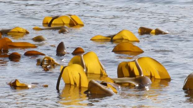 Kelp emerging from the water