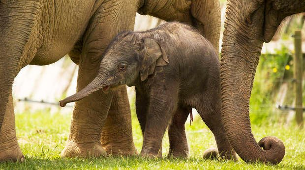 Elizabeth the Asian elephant calf