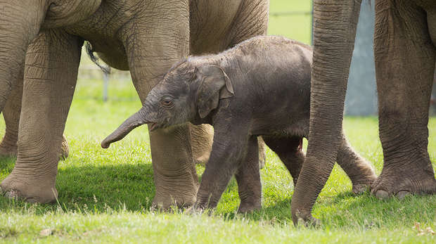 Baby Asian elephant Elizabeth