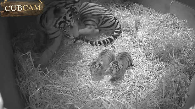 Adorable tiger cubs
