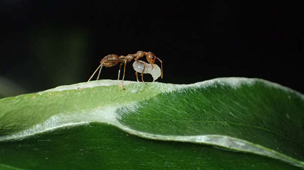 Weaver Ant with Larvae